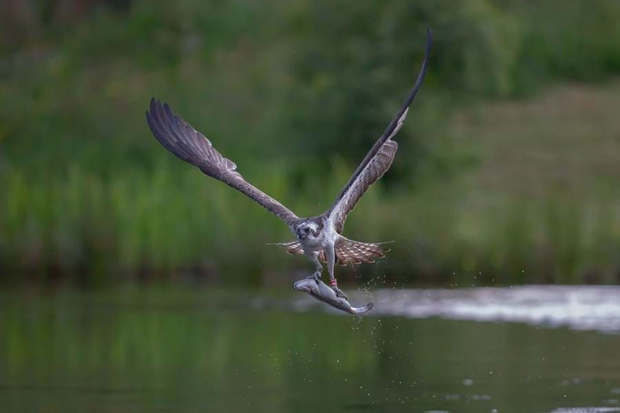 Wildlife, like this osprey, thrives in these remote lochs and isles